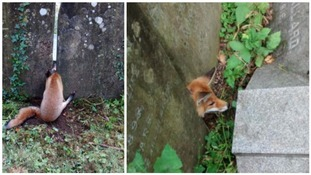 Fox gets head stuck between two gravestones