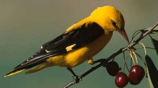 Rare golden oriole bird spotted in Northumberland