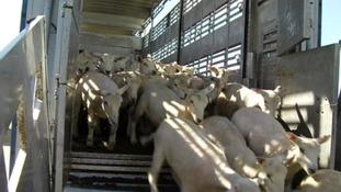 Live animals exports