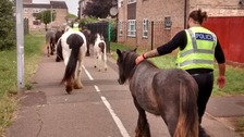 Ten ponies were rounded up on a housing estate in Peterborough after getting loose over the weekend.