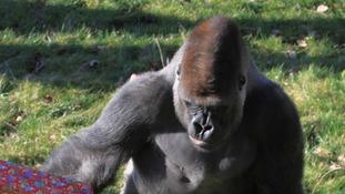 Gorillas enjoy Christmas