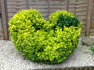 Topiary Heart