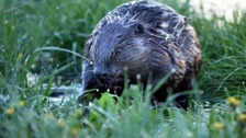 A beaver reportedly attacked a dog in June near Ottery.