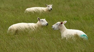 New sheep-marking system trialled in North Yorkshire