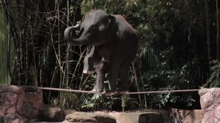 Thousands of elephants kept in 'cruel' conditions across Asia due to tourists' demand to see them