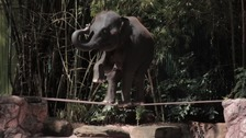 An elephant performs tricks on a wooden plank.