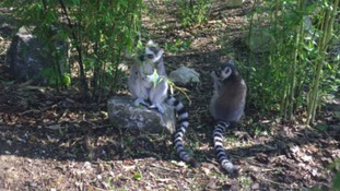 Simon's Blog - Loving The Lemurs