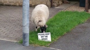 Lawn ram raid! Baa'd sheep defies sign