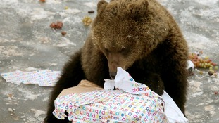 Loki, a European brown bear, celebrates his first birthday at the safari park