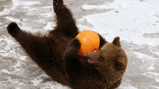 An enrichment ball was filled with Loki's favourite treats