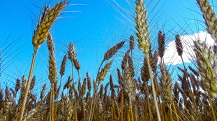 New wheat strain to tackle iron deficiency