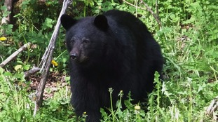 Black bears are usually not aggressive towards humans.