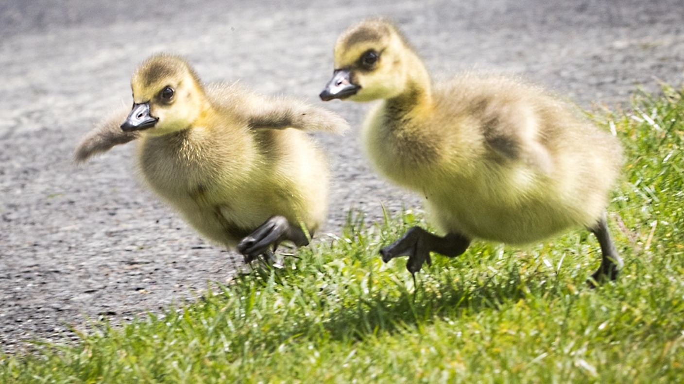 Level crossing signs approved for geese and goslings ...