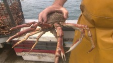 Cornish spider crabs are much loved in Europe.