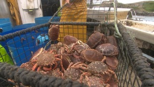 The spider crabs weigh about 2 or 3 kilos each.