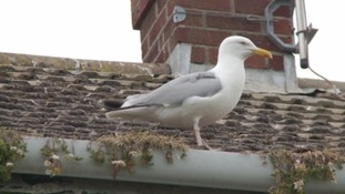 Seagull attacks have been on the rise in coastal towns across the Westcountry.