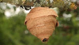 Asian hornets' nest