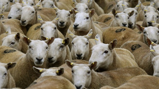 Third attack on sheep in Co Down within weeks