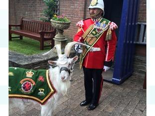 Regimental goat