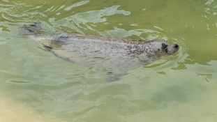 Babyface the seal