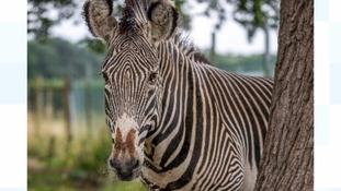 Mac the Zebra