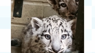 Zoo welcomes two snow leopard cubs
