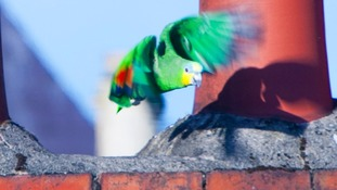 Feathers ruffled as escaped parrot keeps village awake