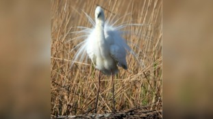 Rare cattle egrets have bred successfully in Somerset.