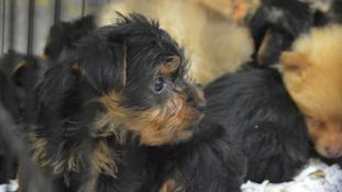Smuggled puppies at Holyhead
