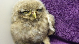 Norfolk wildlife centre sees surge of poorly baby owls
