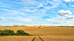 Ripening crops near Horncastle
