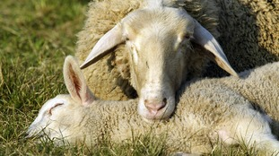 The two sheep that were attacked by a dog in Cleator Moor had lambs