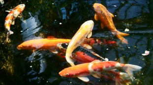 More than 20 Koi carp found dead at Swansea hothouse