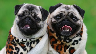 Pugs are among the most desirable breeds
