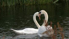 This is the moment the swans were reunited after two months
