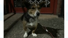 The Corgi looks into the camera after being left by his last owner.