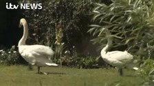 Fears over future of swans in Thames Valley