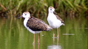 Record year for rare bird fledging in Ouse Washes