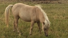 The Palomino Pony that's still missing after being stolen in Cambridgeshire