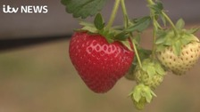 Strawberries with fewer chemicals are even tastier!