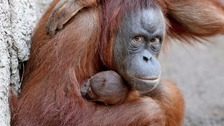 Durrell highlights use of palm oil in orangutan plight