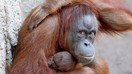 Islanders urged to ditch palm oil products to help save orangutans