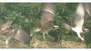 The osprey chicks hatched on 18, 19 and 22 May.