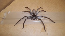 Enormous stowaway spider hitches ride to UK from Australia
