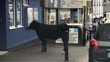 Runaway cow spotted browsing moo-vies at cinema
