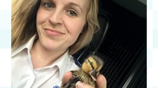 Duckling has lucky escape after being rescued from pipe