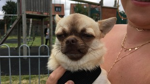 Stanley, the chihuahua, is reunited with his family after being missing for three months.
