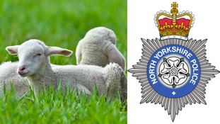 More than 60 lambs stolen from Harrogate farm