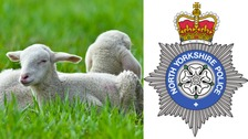 Police urge farmers to be vigilant after dozens of lambs were stolen in a theft near Harrogate.