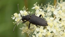The Black Longhorn Beetle particularly favours dead alder stumps and branches.